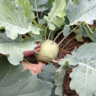 Kohlrabi, almost ready to harvest