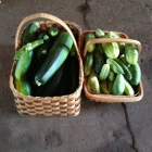 Freshly harvested zucchini and cucumber