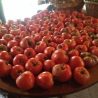 Table full of heirloom tomatoes