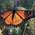 Monarch, showing up!
