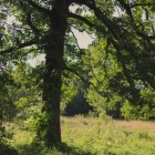 Oak tree in prairie of Night Owl Farm